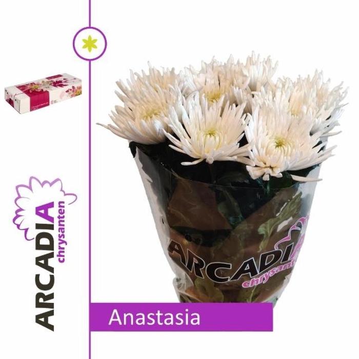 <h4>Chr G Anastasia</h4>