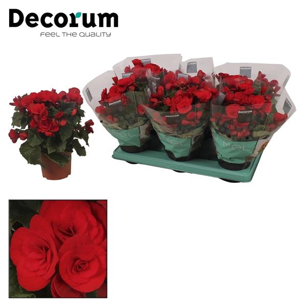 <h4>Begonia ''baladin'' rood 13cm</h4>