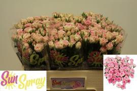 <h4>Rose Sp. Creamy Twister</h4>
