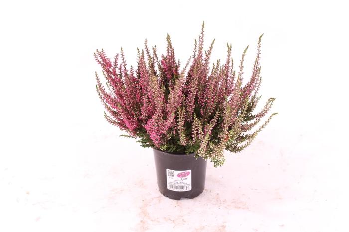 <h4>Calluna vulgaris Garden Girl® Rot</h4>