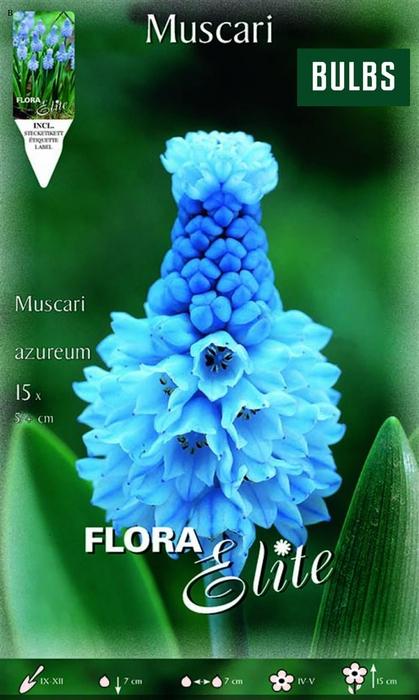 <h4>Z Muscari Azureum</h4>