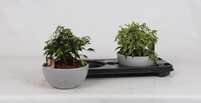 <h4>Arrangement Ficus  In Schaal</h4>