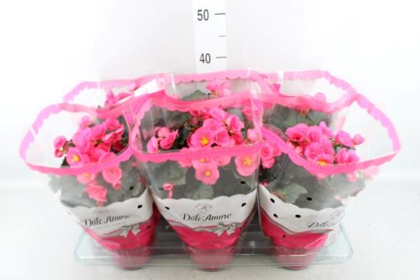 <h4>Begonia elat. HL 'Adonia Pink'</h4>