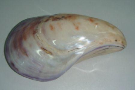 <h4>Basic Shell Oyster Twisted Polish</h4>