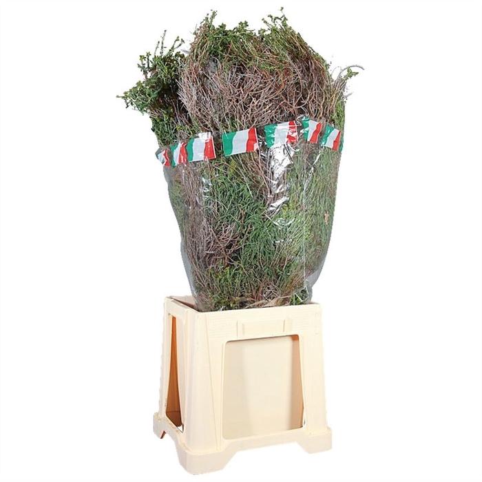 <h4>Euphorbia Spinosa Lang</h4>