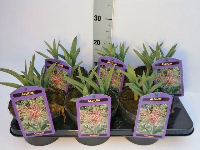 <h4>Allium karataviense</h4>