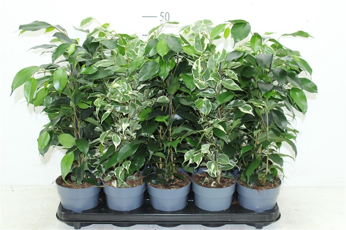 <h4>Ficus Gemengd</h4>