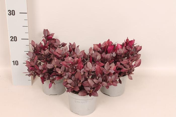 <h4>Overig 12 cm Alternatera Purple Prinze</h4>