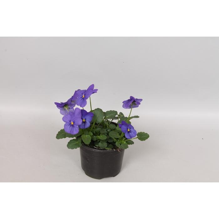 <h4>Viola cornuta sixpack F1 Sky Blue Martien</h4>
