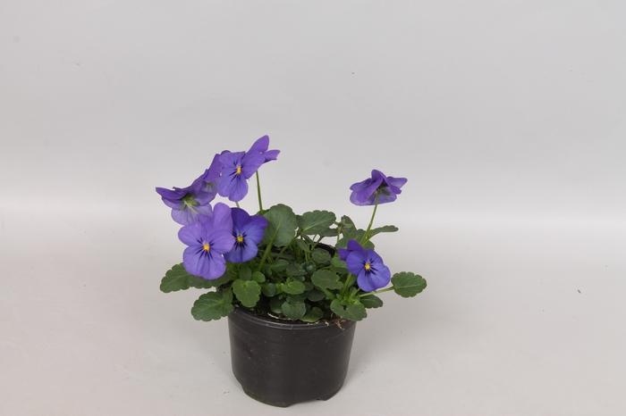 <h4>Viola cornuta F1 Blue</h4>