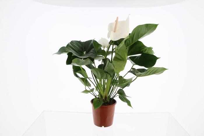 <h4>Anthurium white</h4>