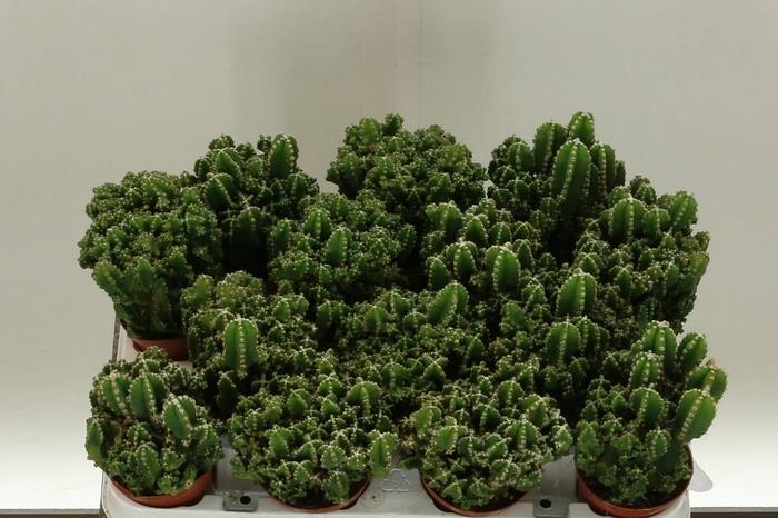 <h4>Cactus Cereus Paolina</h4>
