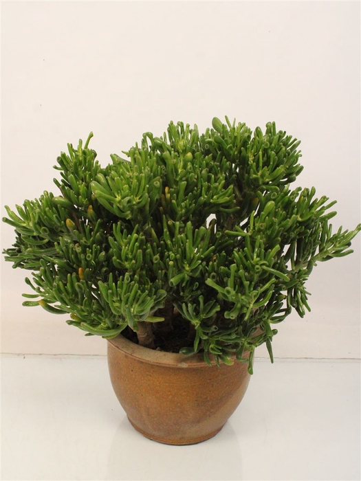 <h4>Crassula Hobbit Incl Stone Pot</h4>
