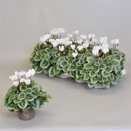 <h4>Cyclamen Kl S S Picasso Wit</h4>