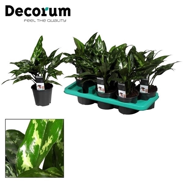<h4>Aglaonema Maria (Decorum)</h4>