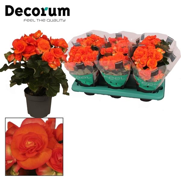 <h4>Begonia ''reina'' oranje 13 cm Decorum</h4>
