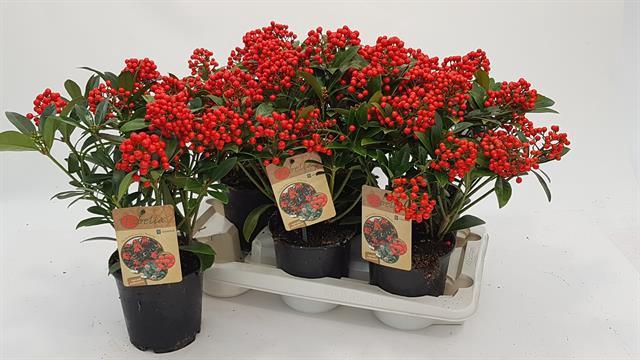 <h4>Skimmia japonica 'Pabella'</h4>