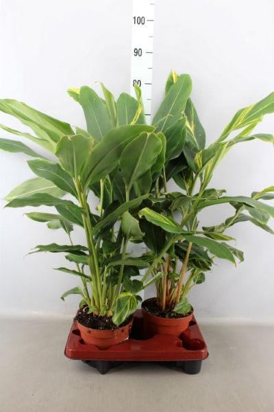 <h4>Alpinia zerumbet 'Variegata'</h4>