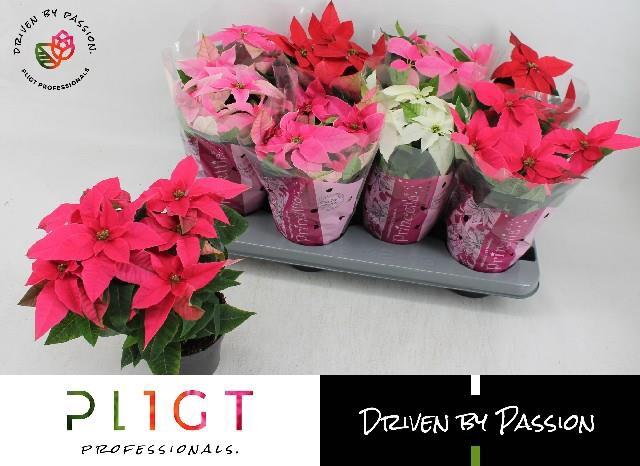 <h4>Euphorbia pulch Princettia mix</h4>