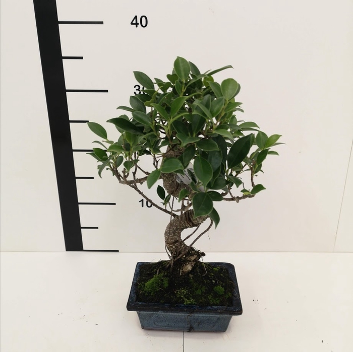 <h4>Bonsai Ficus retusa 6 años</h4>