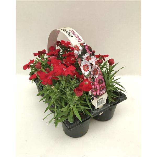 <h4>Dianthus rood 6p</h4>