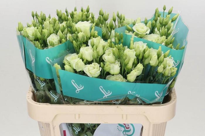 <h4>Eustoma G Rosi Green</h4>