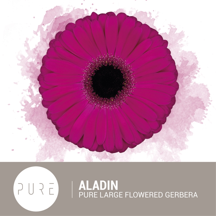<h4>Aladin Flowerracket</h4>