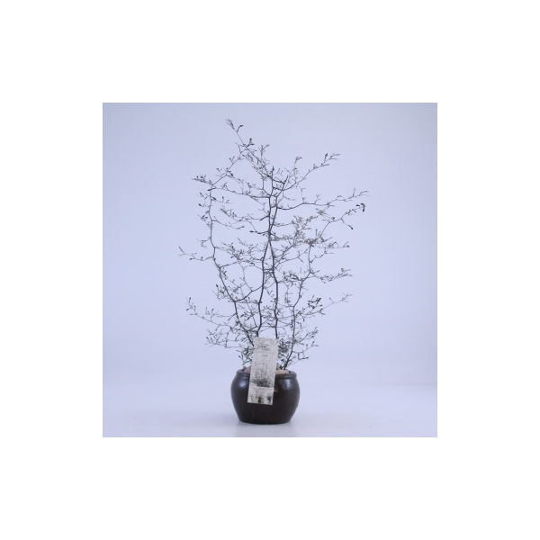 <h4>7700-COR Keramieke pot met Corokia Cotoneaster</h4>