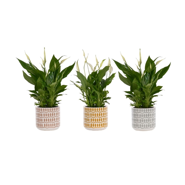 <h4>Spathiphyllum 13cm Bellini in Rox - Earth Balance</h4>