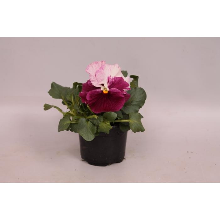 <h4>Viola sixpack F1 Strawberry cream</h4>