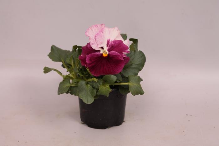 <h4>Viola wittrockiana F1 Strawberry cream</h4>