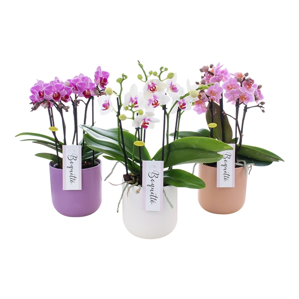 <h4>Phal. Boquetto pinko mix colours rounded</h4>