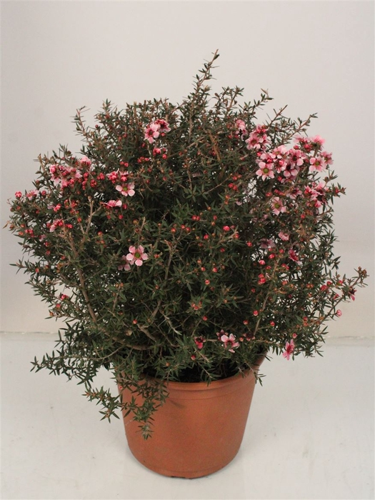 <h4>Leptospermum Scoparium Bush Mix</h4>