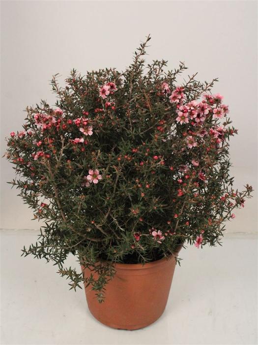 <h4>Leptospermum Scoparium Bush Rose Enkel Bloemig</h4>