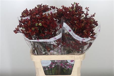 <h4>Anigozanthos Red Early Spring</h4>