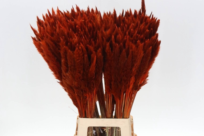 <h4>Cortaderia Fluffy Orange (P. Bos)</h4>