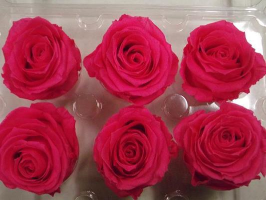 R Prs Hot Pink