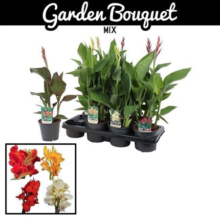 <h4>Canna Garden Bouquet Gemengd</h4>