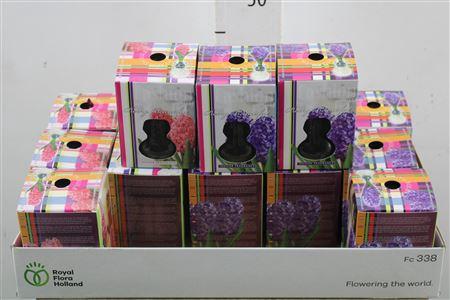 <h4>Bulb Hyacinth Mix Op Glas</h4>