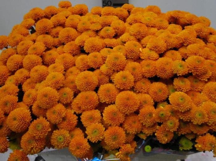 <h4>Chr San Aurinko Oranje</h4>