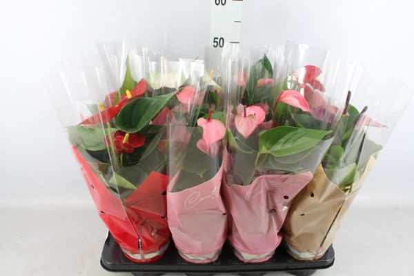 <h4>Anthurium   ...mix 4</h4>