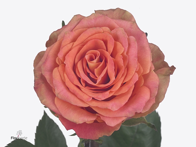 Rosa large flowered Love Pearl