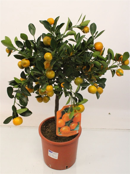 <h4>Citrus Calamondine Stem</h4>