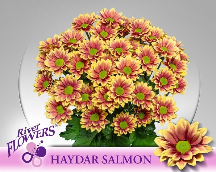 <h4>CHR T HAYDAR SALMON</h4>