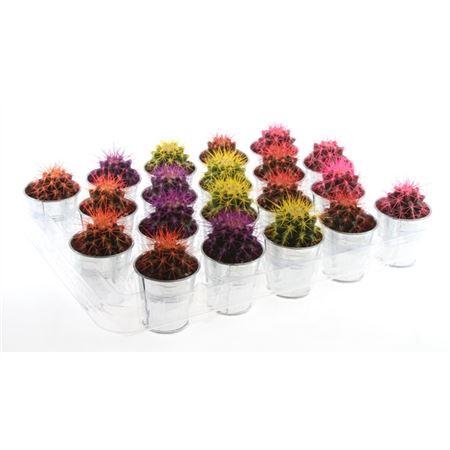 <h4>Cactus Grusonii Rainbow Gemengd Zink</h4>