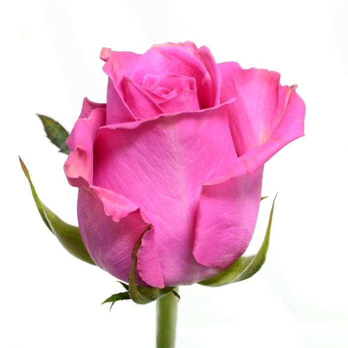 <h4>Rose Lovely Pink</h4>