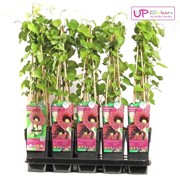 <h4>Aristolochia macrophylla - Upclimbers</h4>