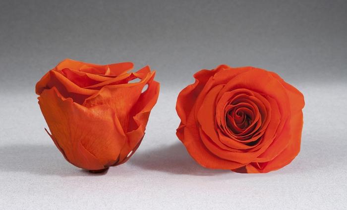 <h4>Rose stab. XXL Ora-02</h4>