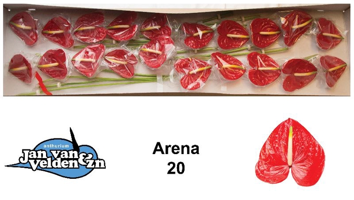 ANTH A ARENA
