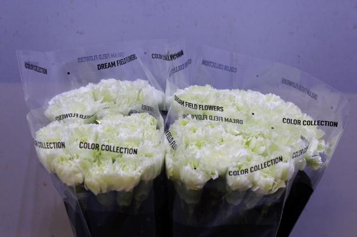 <h4>Dianthus Prado Mint</h4>